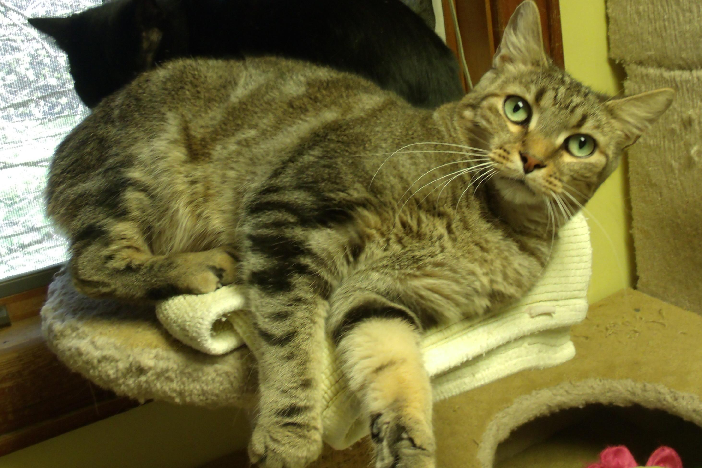 Cat for Adoption – WALLACE near Acme PA