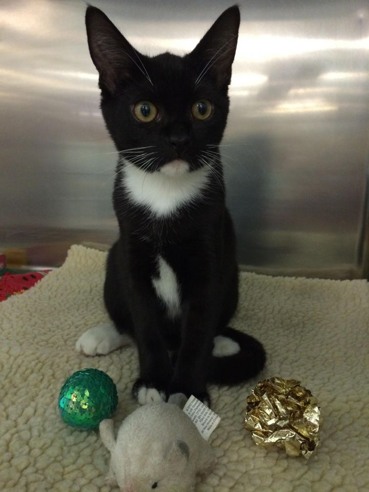 Taka, an adopted Tuxedo in Tallahassee, FL