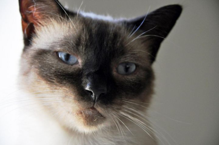 Fontana, an adopted Siamese in Orange, CA_image-1
