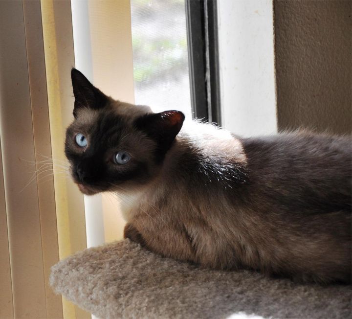 Fontana, an adopted Siamese in Orange, CA_image-2