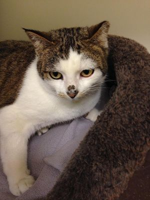 Mae Mae is a small female black and brown tabby on white cat She has a cute little tabby spot