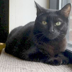 Those captivating eyes Adorable Willow is a dainty sweet-natured girl with glossy black fur She l