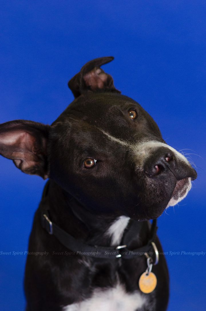 Turner, an adopted American Staffordshire Terrier & Pit Bull Terrier Mix in Saint Paul, MN
