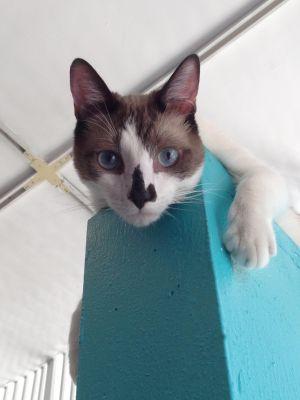 Choccy Siamese Cat