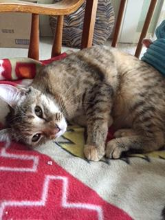 Goldie, an adopted Domestic Short Hair in Simpsonville, SC