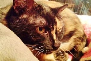 Mittens, an adopted Domestic Medium Hair in Leonardtown, MD