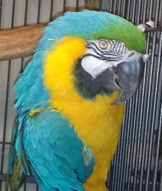 Journey, an adopted Macaw in Jacksonville, FL