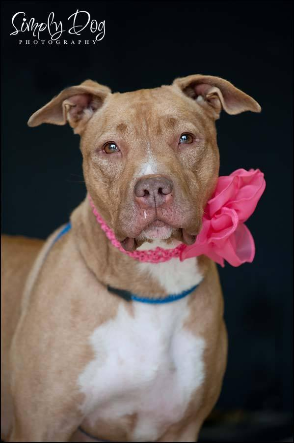 Kimber, an adoptable American Staffordshire Terrier Mix in Dublin, OH
