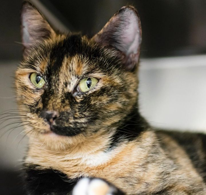 Pumpkin, an adopted Tortoiseshell in Jersey City, NJ