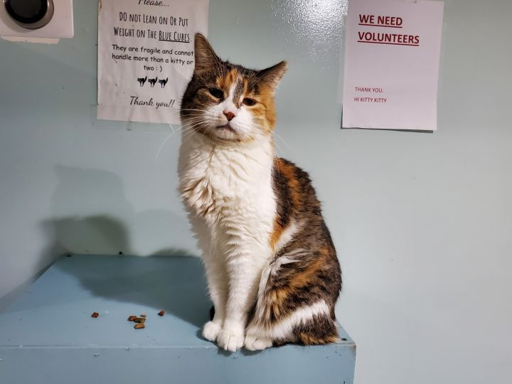 Tammy, an adoptable Calico in Chicago, IL