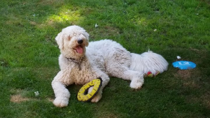 Dex, adoption pending, an adopted Komondor in Lucknow, ON