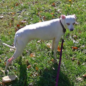 Miss Kitty is a very sweet well-behaved loving senior Italian Greyhound She is around 9 years old