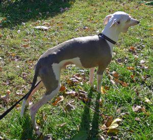 Matt is a very sweet well-behaved loving senior Italian Greyhound He is around 10 years old He c
