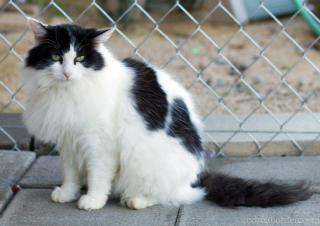 Fancy, an adoptable Domestic Long Hair in Palo Cedro, CA