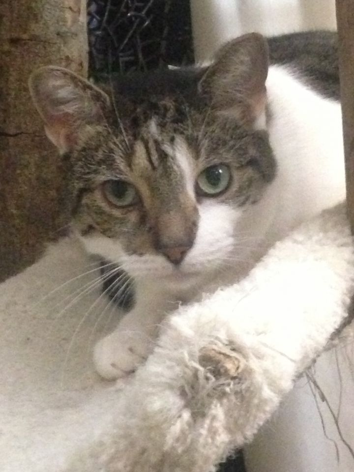 Lincoln, an adoptable Tabby in New York, NY