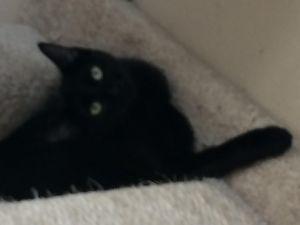 Kamari Domestic Short Hair Cat