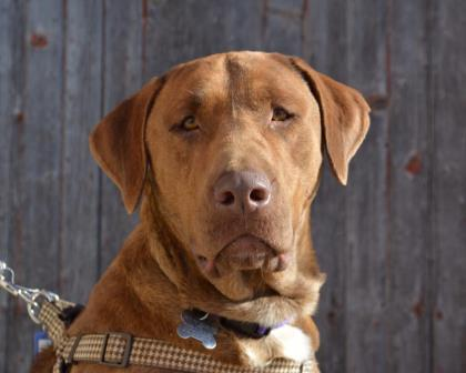 Hershey, an adopted Chesapeake Bay Retriever & Mastiff Mix in West Allis, WI