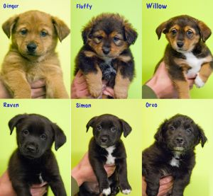 Litter of 5 pups for adoption