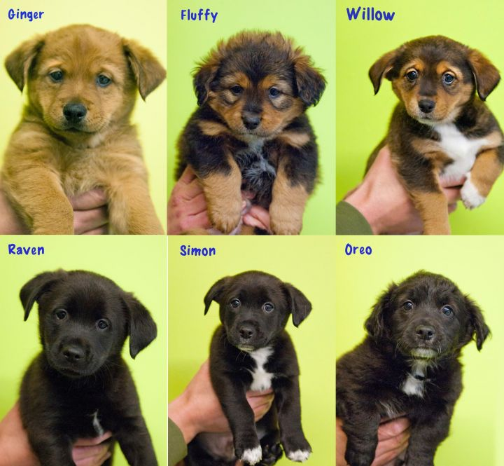 Litter of 5 pups for adoption 1
