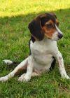 Beagle Dog: Ella Super Beagle