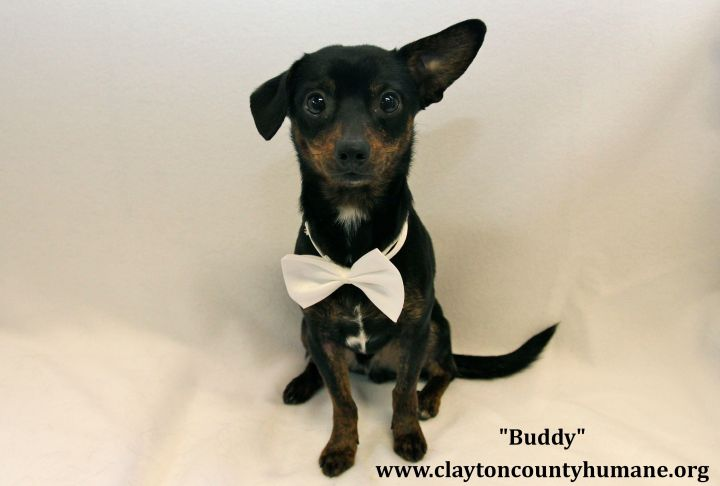 Buddy, an adopted Chihuahua & Terrier Mix in Jonesboro, GA
