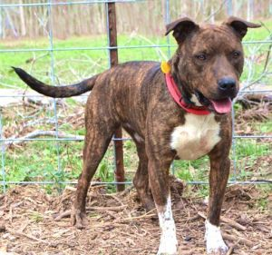 Primo American Staffordshire Terrier Dog