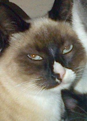 Tyke Domestic Short Hair Cat