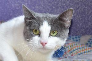 Makenzie Domestic Short Hair Cat
