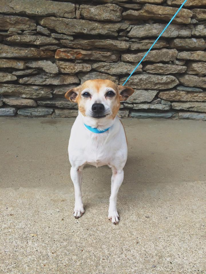 Lissa, an adopted Rat Terrier in Shelbyville, KY