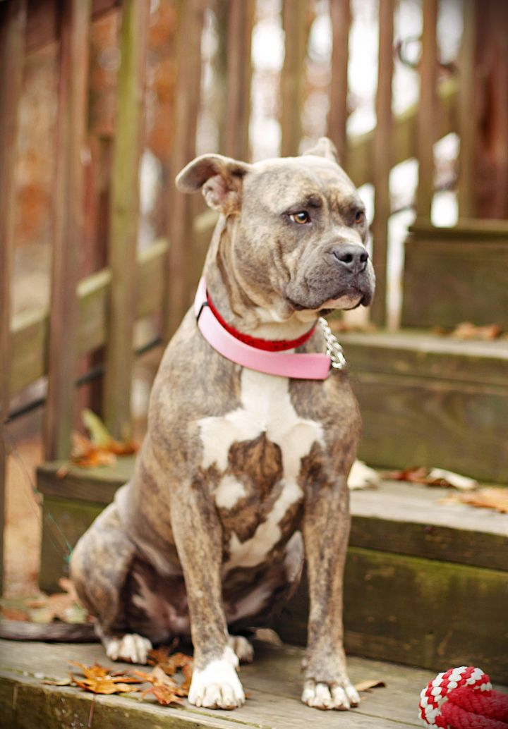Chestnut, an adopted American Bulldog & Boxer Mix in Marietta, GA