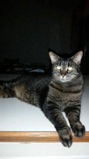 Misty, an adoptable Domestic Short Hair in Rochester, NY