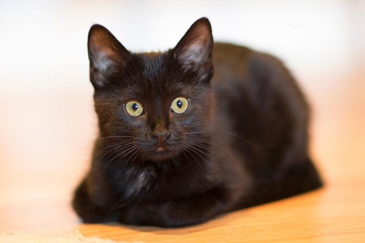 Fade, an adopted Domestic Short Hair in Chicago, IL