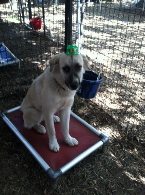 Charlotte, an adopted Great Pyrenees & Anatolian Shepherd Mix in San Antonio, TX