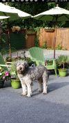 Briard Dog: Daryl