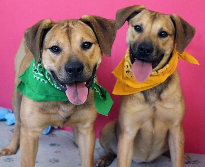 Hazel & Holly: Adoption Pending!, an adopted Shepherd & Hound Mix in Kansas City, KS