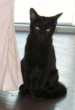 Zizzy Domestic Medium Hair Cat