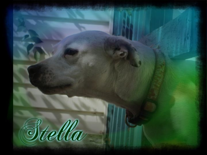 Stella, an adoptable Pit Bull Terrier in Tulsa, OK