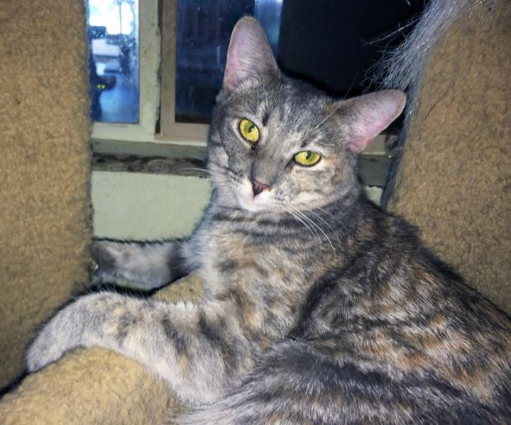 L'Oreal, an adoptable Dilute Calico & British Shorthair Mix in Mission Viejo, CA