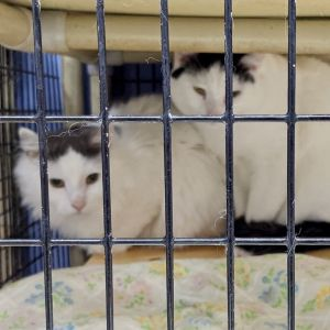 Cat for adoption - Barn Cats, a Tabby & Domestic Short ...