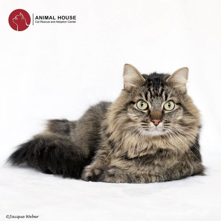 Junebug, an adopted Domestic Long Hair in St. Louis, MO