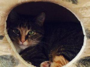 Annie Domestic Short Hair Cat
