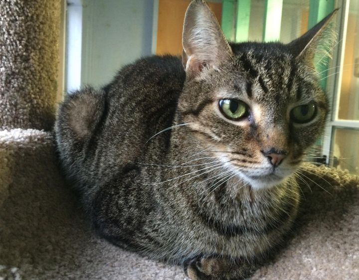 Hercules, an adopted Tabby in Tallahassee, FL