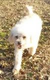 Poodle Dog: Coby