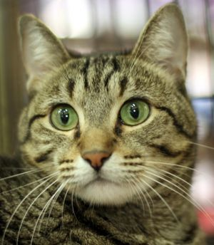 Brock is a delightful social tabby who is friendly and relaxed when she is comfortable with you Sh