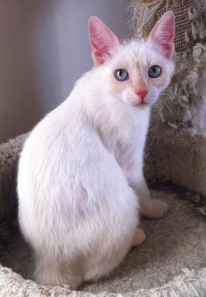 Tia Domestic Short Hair Cat