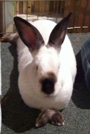 Hardy Californian Rabbit