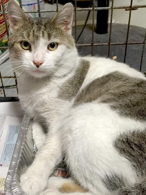 Wally, an adoptable American Shorthair in Woodmere, NY