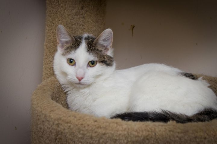 Adam, an adoptable Domestic Short Hair in Chicago, IL