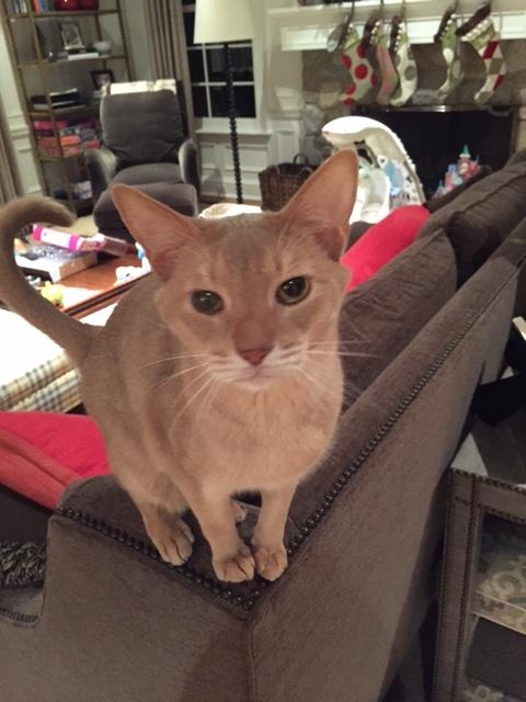 Leo, an adopted Abyssinian in Oakland, NJ