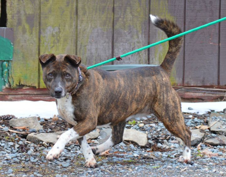 Candella, an adoptable Labrador Retriever Mix in Middletown, NY